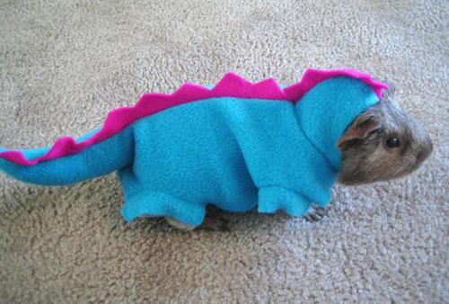 dragon-guinea-pig